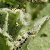 Noctuidae : Cuculliinae : chenilles de Shargacucullia scrophulariae DENIS & SCHIFFERMÜLLER, 1775. Les Hautes-Lisières, 30 mai 2009. Photo : J.-M. Gayman