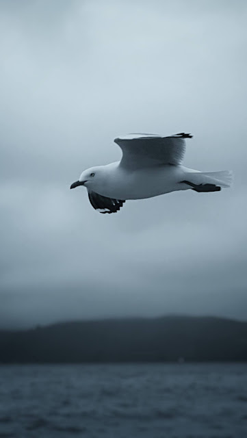 Floating gull in black and white