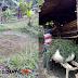 Akibat Musim Kemarau, Peternak Kambing di Sukabumi Susah Merumput