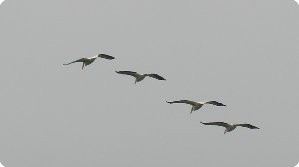 IMG_8174 American Pelican Bird (4)