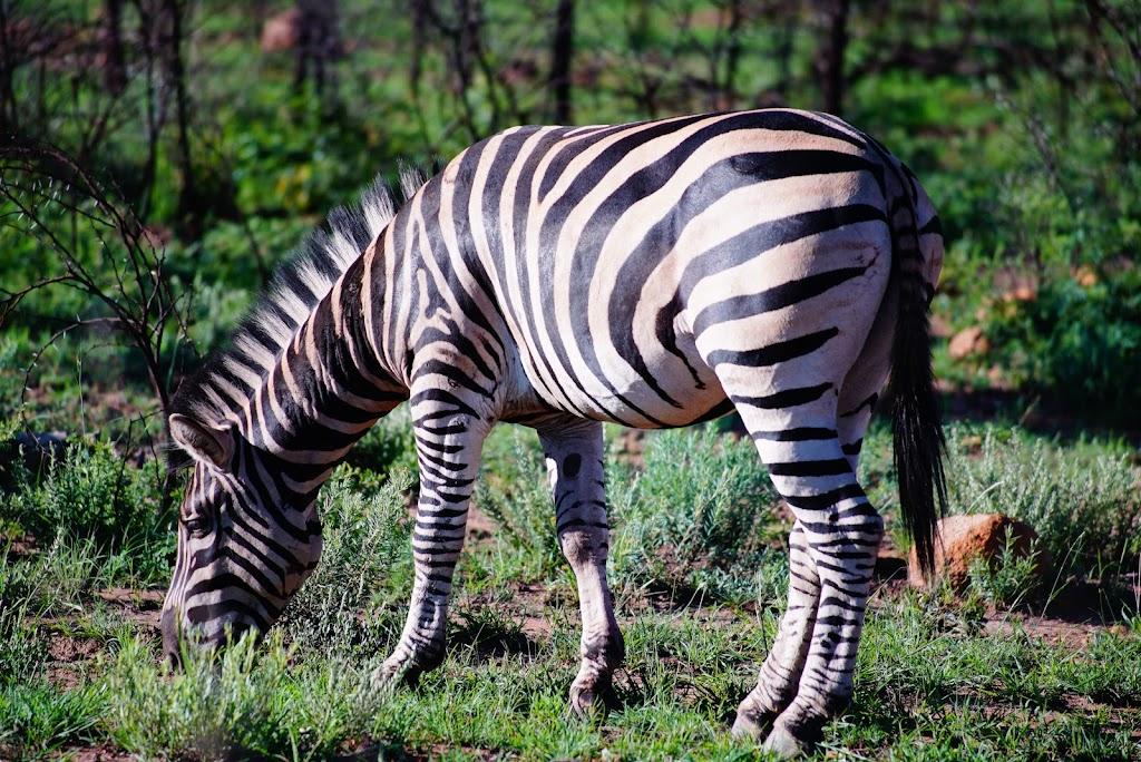 zebra eating grass at Pilanesberg safari
