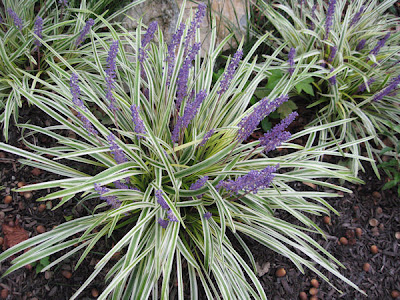 A guide to northeastern gardening best long blooming perennials liriope muscari variegata mightylinksfo