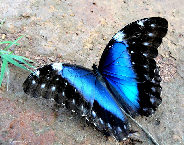 Morpho (Grasseia) menelaus offenbachi BRYK, 1953, femelle. Colider (Mato Grosso, Brésil), avril 2011. Photo : Cidinha Rissi