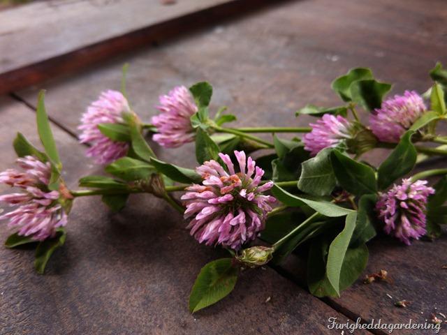 trifolium det