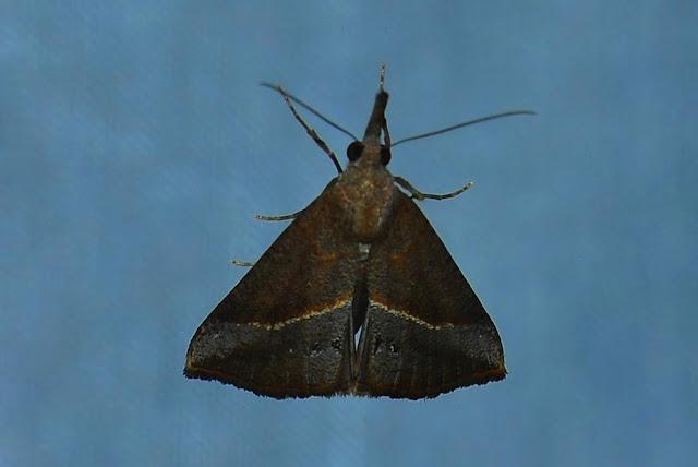 Noctuidae : Hypeninae : Hypena subvittalis WALKER, [1866]. Umina Beach (N. S. W., Australie), 22 janvier 2012. Photo : Barbara Kedzierski