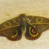 Hemileucinae : Leucanella hosmera (Schaus, 1941), mâle. Mount Totumas, 1900 m (Chiriqui, Panamá), 22 octobre 2014. Photo : J.-M. Gayman