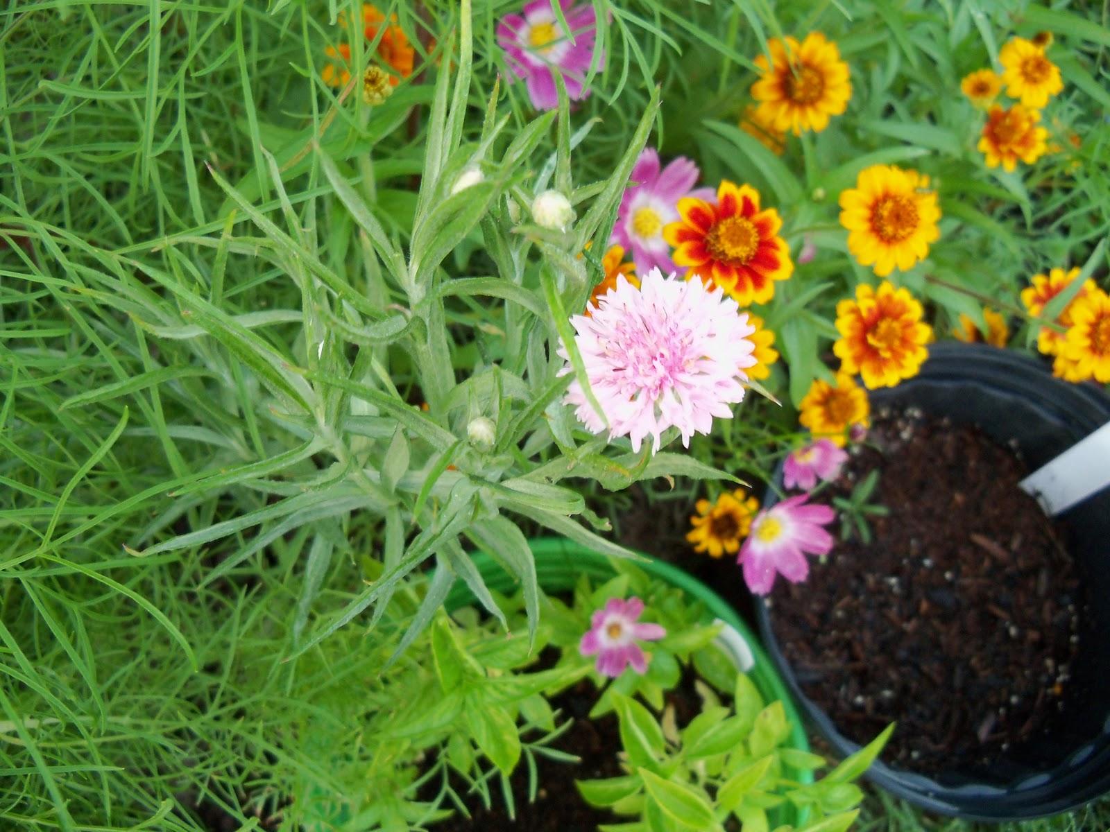 Gardening 2010, Part Three - 101_3961.JPG