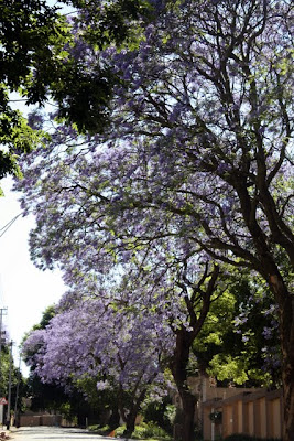 Jacaranda trees in Johannesburg South Africa