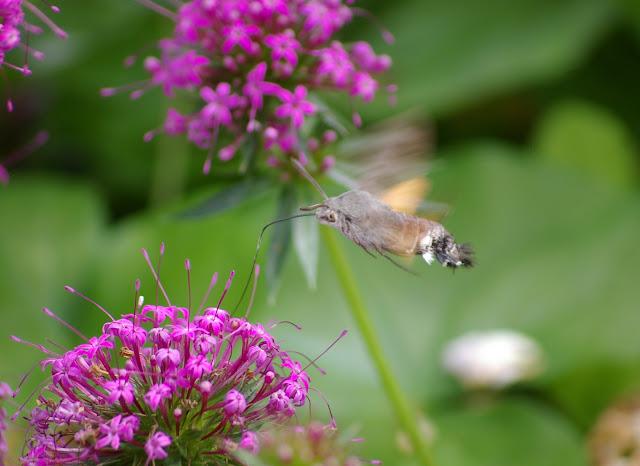 Sphingidae : Macroglossinae : Macroglossum stellatarum (LINNAEUS, 1758). Les Hautes-Lisières (Rouvres, 28), 18 juin 2011. Photo : J.-M. Gayman