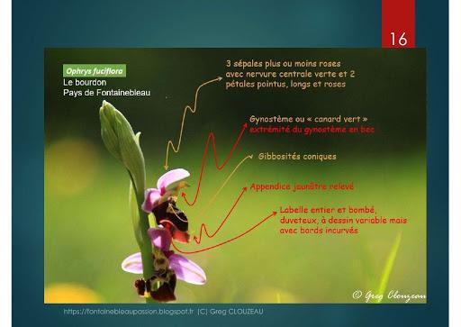 Identifier les Orchidées Sauvages d'Ile de France