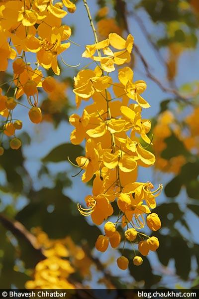 Aragvadha AKA Amaltas, Cassia fistula, Golden Shower Tree, Garmalo, Bandar Lathi, Bahava, Sunari, Chaturangula, Kritamala, Suvarnaka