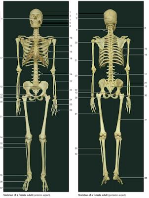 Anatomi Fisiologi Sistem Muskuloskeletal Pada Tubuh Manusia