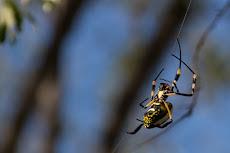 massive spiders, but not dangerous