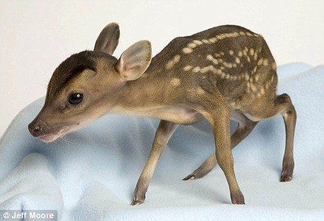 tiny deer 2
