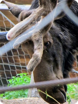 Moose at at Cheyenne Mountain Zoo