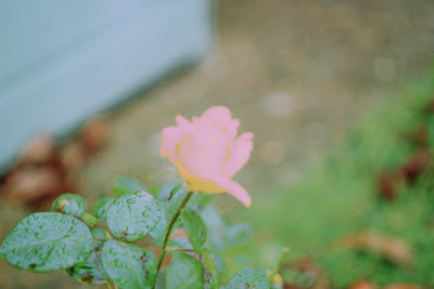 Rose in my front Garden November 2015 Signor 135mm F2.8 manual lens + tripod
