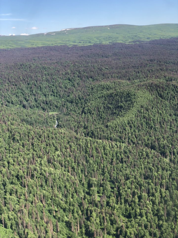 Aerial view of spruce beetle infestation in the forest of Susitna Valley, Alaska. As we pass over the Susitna Valley we can see how far this outbreak has spread. The red-brown and gray trees have been infested for several years. Some of the green trees may be the early stages of spruce beetle infestation. Photo: Adrianna C. Foster / NASA