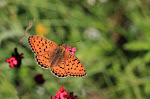 Klitperlemorsommerfugl, Argynnis niobe f. eris3.jpg