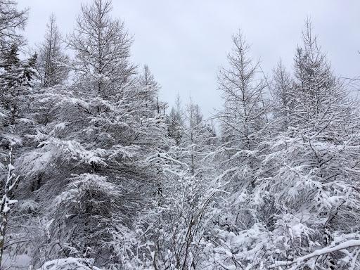 Snowy tamarack trees on north end of Bullhead lake