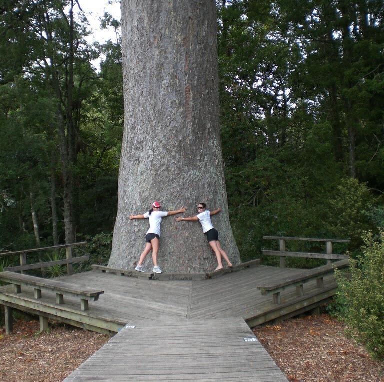 kauri-tree