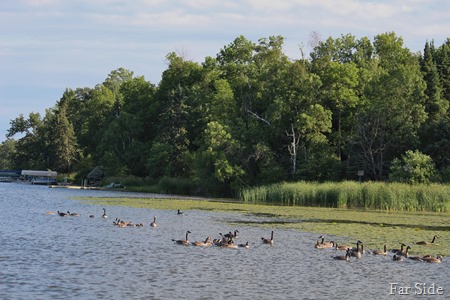 Whole gaggle of Canada Geese