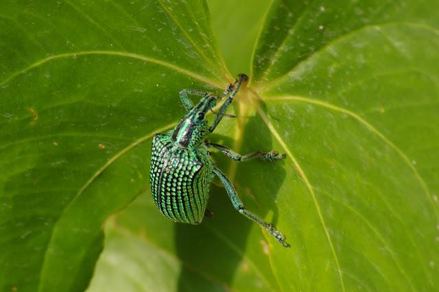 Curculionidae : Entiminae : Entimus imperialis FORSTER, 1771. Pulso (Ub. SP), 15 février 2011. Photo : J.-M. Gayman