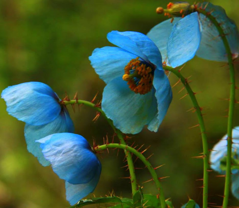 The blue poppies are one of the most beautiful flowers found at the valley of flowers