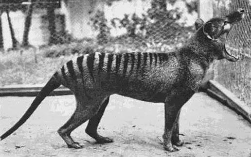 Três anos depois dessa foto ser tirada, esse último indivíduo morreria, decretando a extinção dos Tilacinos.