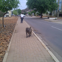 First of two baboons seen in Gabs. Walking casually toward me on the sidewalk