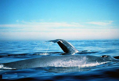 Whale Calves nurse for 7 to 8 months