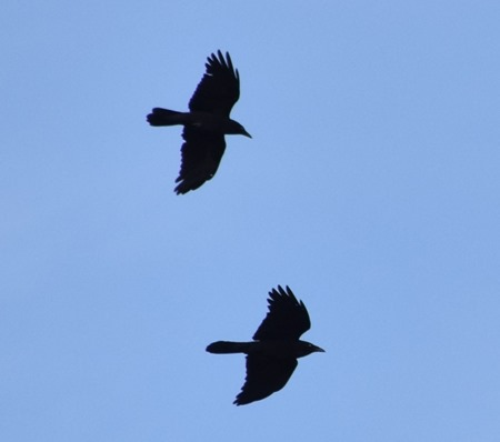 ravens in flight 2