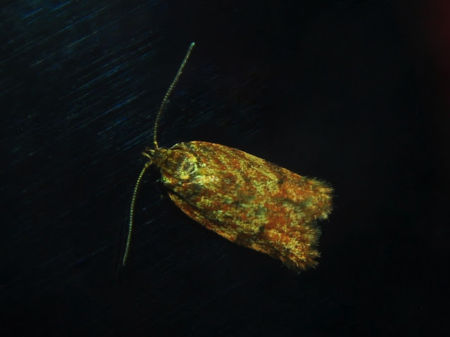 Tortricidae : Tortricinae : probablement Grapholita decolorana WALKER, 1863. Umina Beach (N. S. W., Australie), 22 décembre 2011. Photo : Barbara Kedzierski