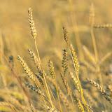 Пшеница (Triticum sp.)