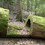 Walking through a tree west of Wollombi Brook (364856)