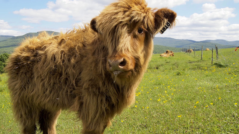 Baby Highland cow at Au Diable Vert