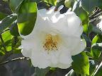 白色 八重 蓮華咲き 大輪