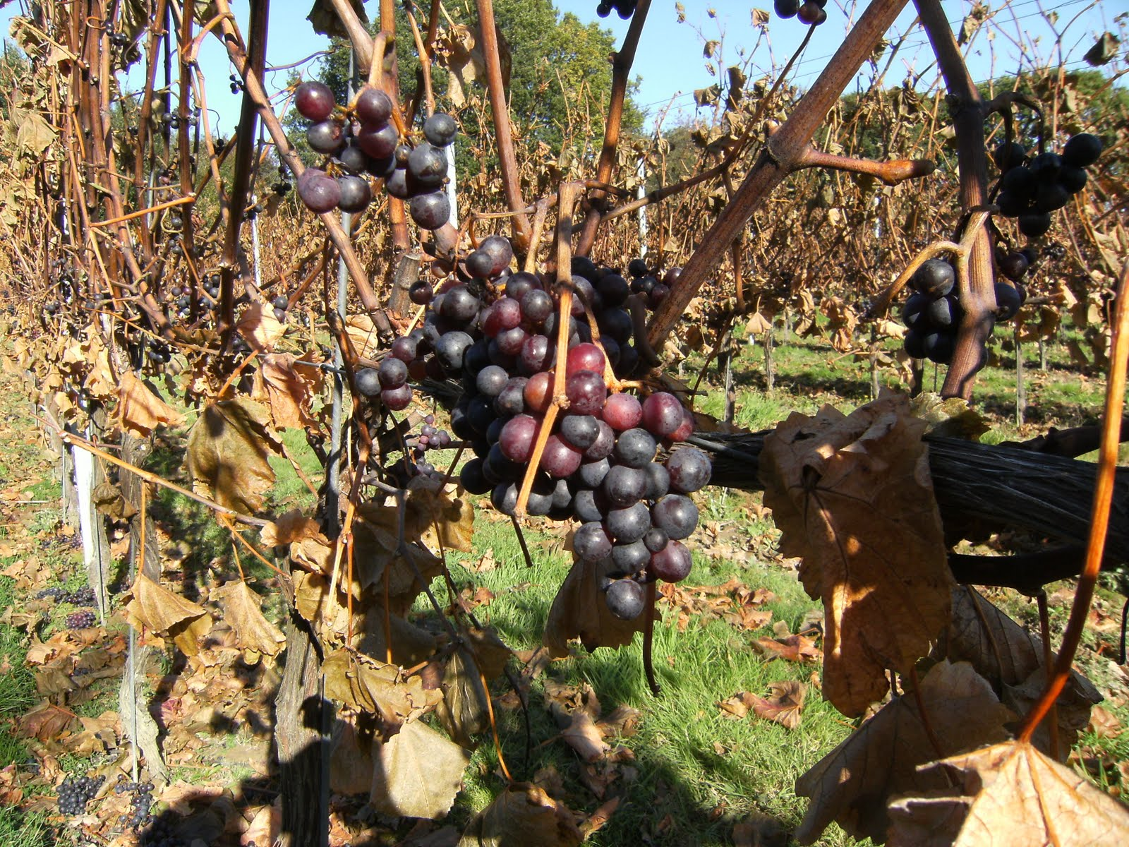 1010240045 Vineyard, Appledore Heath