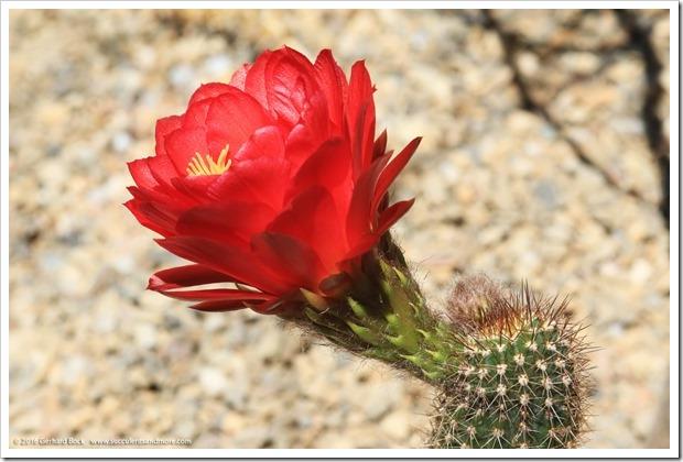 160530_echinopsis_flower_044