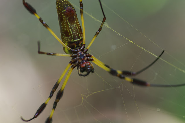 Nephila clavipes (LINNAEUS, 1767), femelle. Tunda Loma à Calderon (San Lorenzo, Esmeraldas), 27 novembre 2013. Photo : J.-M. Gayman