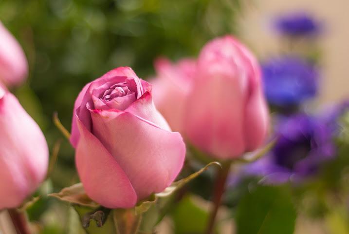 Rosas malvas