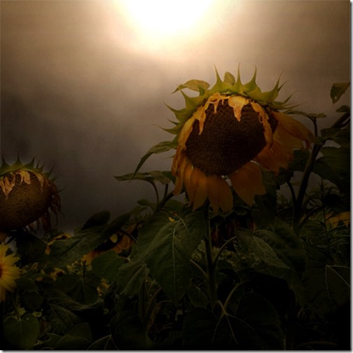sunflower in the morning