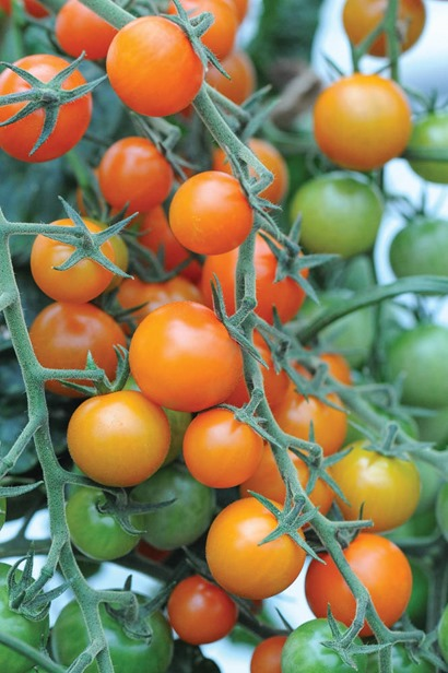 Tomato Sungold_TM use only copyright Thompson and Morgan_web