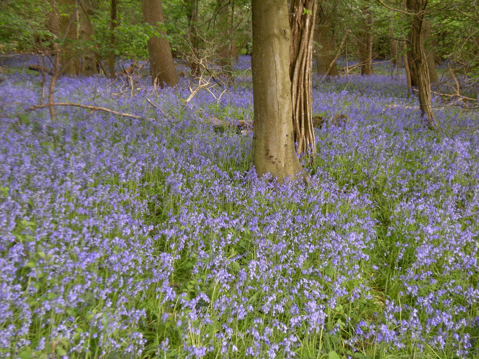 1005150004 Bluebell wood near Latimer Park