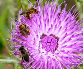 """Photo: Hier, entre deux averses, un gros chardon """"Onopordum d'Illyrie"""" ( 1 m 60 de haut ) est visité par """"halictus scabiosae"""" et """" osmia cuarelescens"""", abeilles solitaires."""