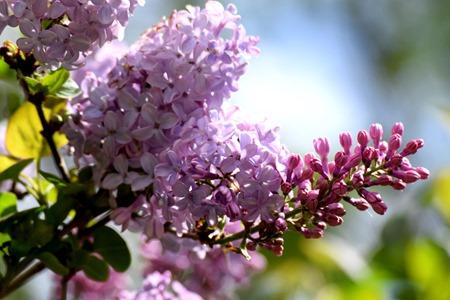 lilac 2