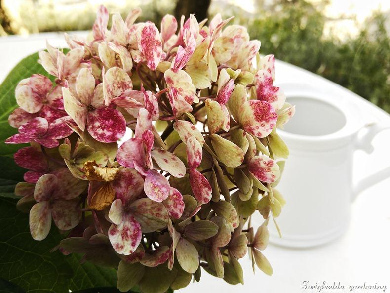 hydrangea old rose
