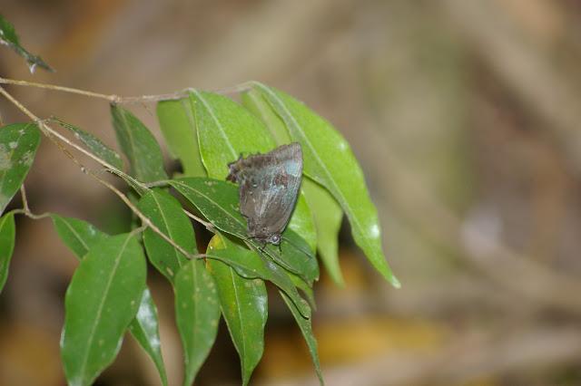 Theritas sp. : T. lisus STOLL, 1790 ou T. phegeus HEWITSON, 1865. Ilha Grande, 18 février 2011. Photo : J.-M. Gayman
