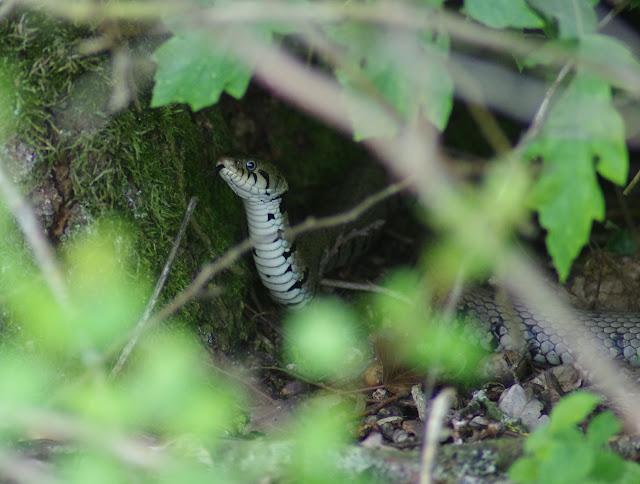 Couleuvre à collier (Natrix natrix LINNAEUS, 1758). Les Hautes-Lisières (Rouvres, 28), 23 mai 2012. Photo : J.-M. Gayman