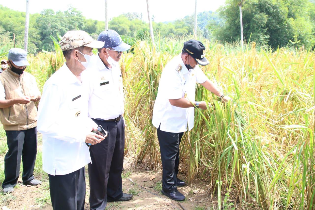 Didampingi Kadis Pertanian, Wabup Soppeng Gelar Panen Padi Ladang di Desa Soga