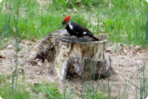 Mountainville Woodpecker